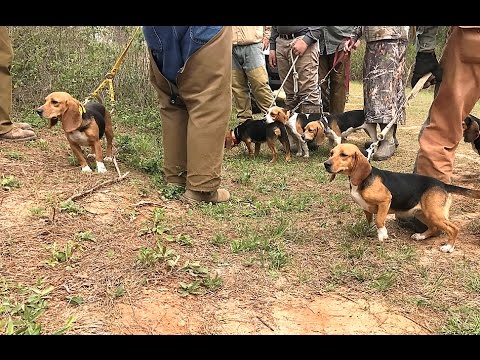 Akc Spo Field Trial 13 Females Benson S Kennel Youtube
