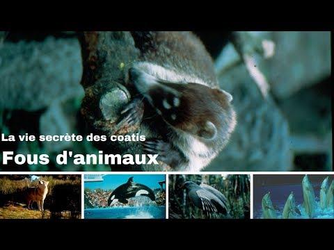 La vie secrète des coatis - Guatemala - Fous d'animaux