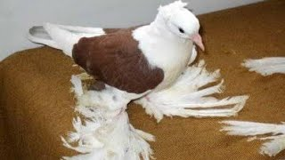 Göbekli Amcayı ziyaret Malatya Bol paçalı güvercinleri
