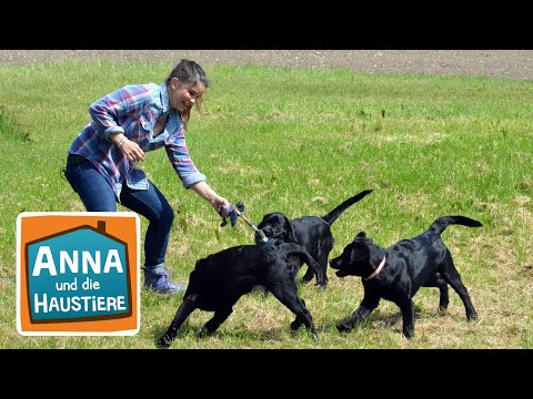 Labrador   Reportage für Kinder   Anna und die Haustiere