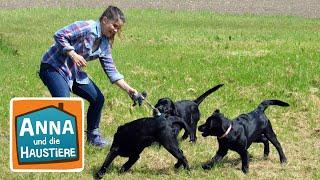 Labrador | Information für Kinder | Anna und die Haustiere