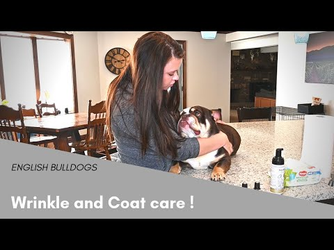 How to Clean an English Bulldogs Wrinkles  Tips and Tricks