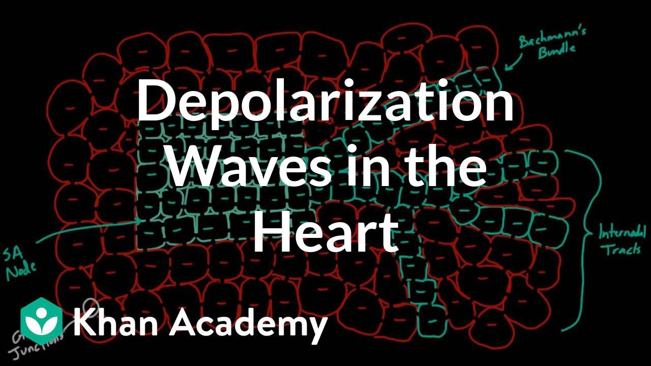 Depolarization waves flowing through the heart (video