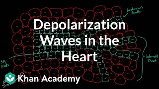 Depolarization Waves Flowing through the Heart