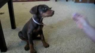 9 Week Old Doberman Well Trained