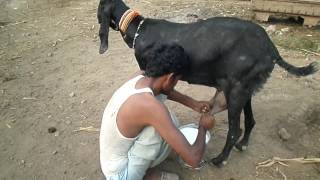 Village Young Man How To Get Milk From The Domestic Goat in village | sabir ali