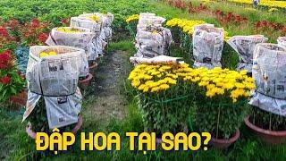 Trồng Hoa Tết 2020:  Vì Sao Nông Dân đập bỏ hoa