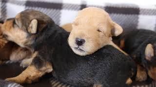 June  Johnney 2/20/21 Lakeland Terrier Puppies 2 weeks old