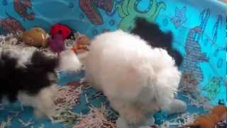 Bichon Frise/poodle Mix Puppies For Sale In Central Pa