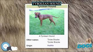 Tyrolean Hound  Everything Dog Breeds