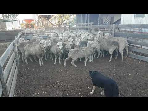 Jeff the totally blind 7yr old Australian Border Collie Sheep Dog always working in the sheep yards