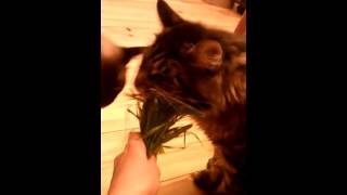 Коты жадно едят траву!