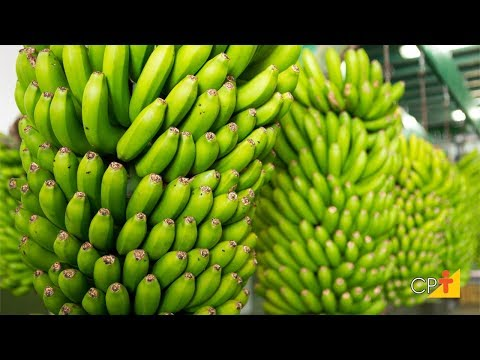 Clique e veja o vídeo Curso a Distância Produção de Banana CPT