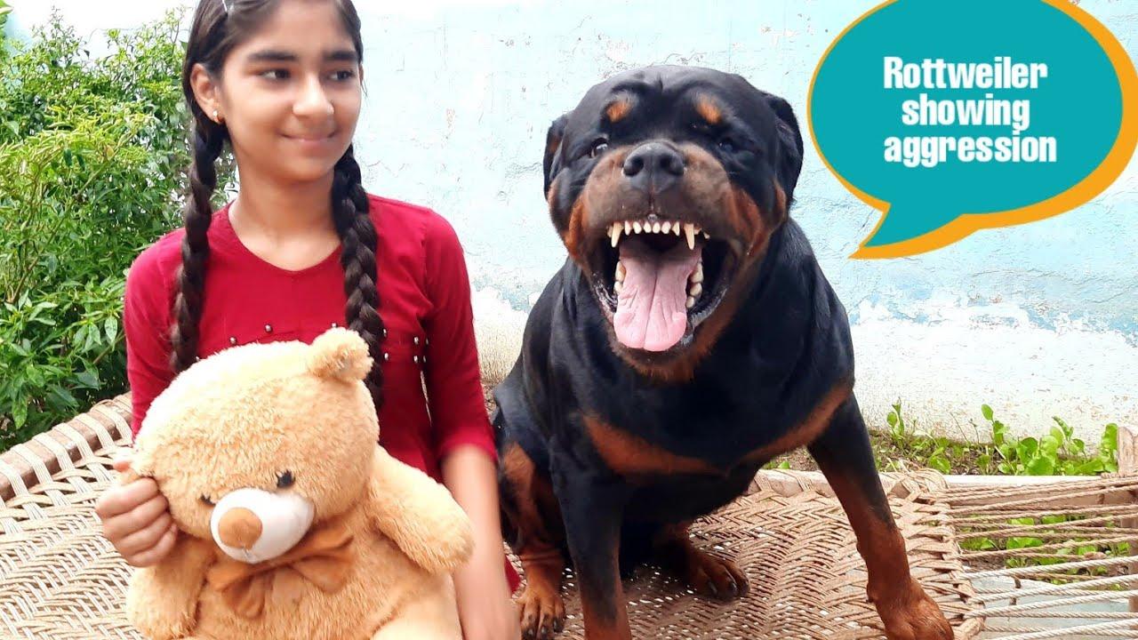 Download Dog showing agrression||funny dog video||cute dog||guard dog.