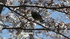 Le Japon des cerisiers en fleurs - Échappées belles