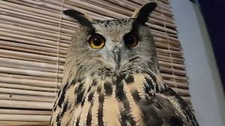 Owl's feather 'ears' and how to read their positions