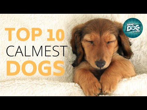 Top 10 Calmest Dog Breeds  Gentle and Easy Going Breeds
