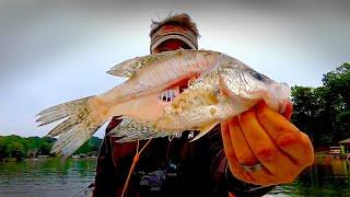 Fresh Crappie for Catfish Bait