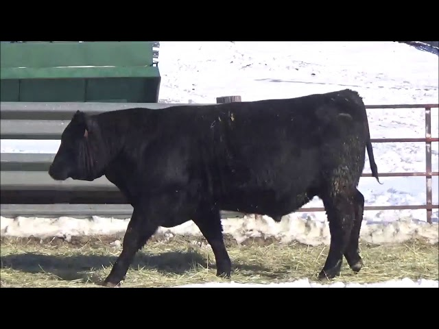 Connealy Angus Lot 141