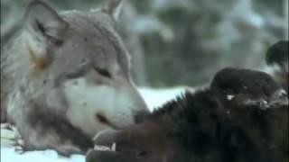 Волки.Документальный фильм