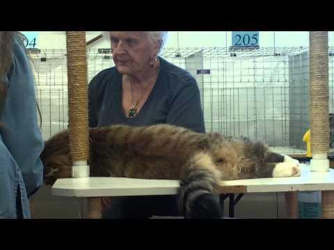 Siberian cat at the TICA cat show in Brighton, CO Nov 17, 2013