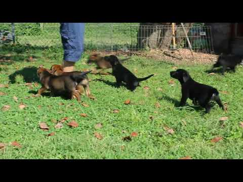Belgian Malinois Mix Puppies For Sale