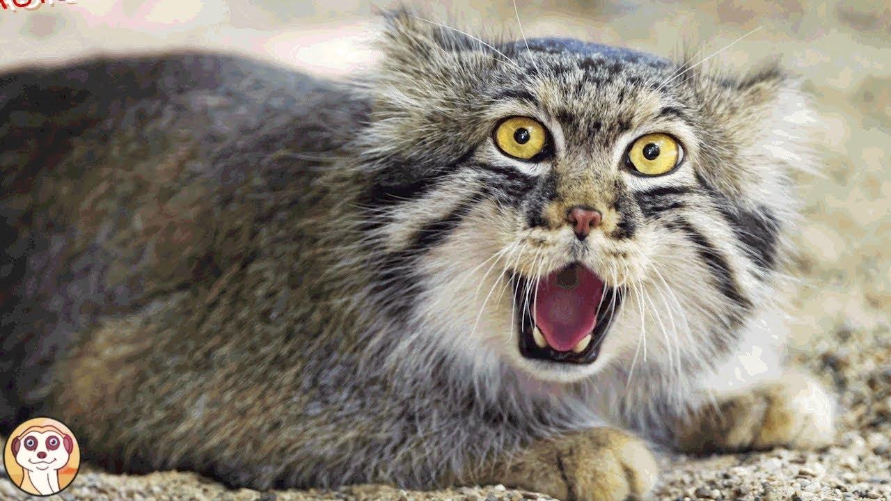 10 Razze Di Gatti Più Pericolose Al Mondo Youtube