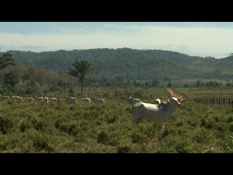 Cattle-ranching: biggest threat to Amazon rainforest