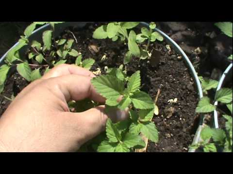 Hierba Dulce Azteca Lippia Dulcis Aztec Sweet Leaf - YouTube