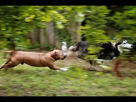 Pit Bully VS Alaskan Malamute | Chases Malamute Over Pool Edge