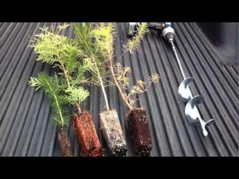 Planting Evergreen Transplant Plugs