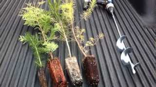 Planting Evergreen Transplant Plugs