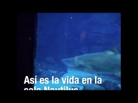 El tiburón Gastón ataca y devora un pargo de nueve kilos