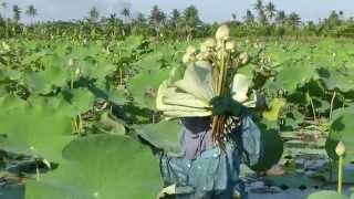 Lotus flower harvest in Thailand.