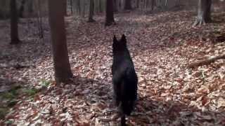 Black German Shepherd Dog Sammy At 17 Months