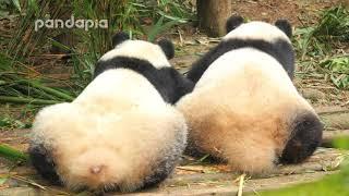 Panda Mei Lun and Mei Huan poop in the yard