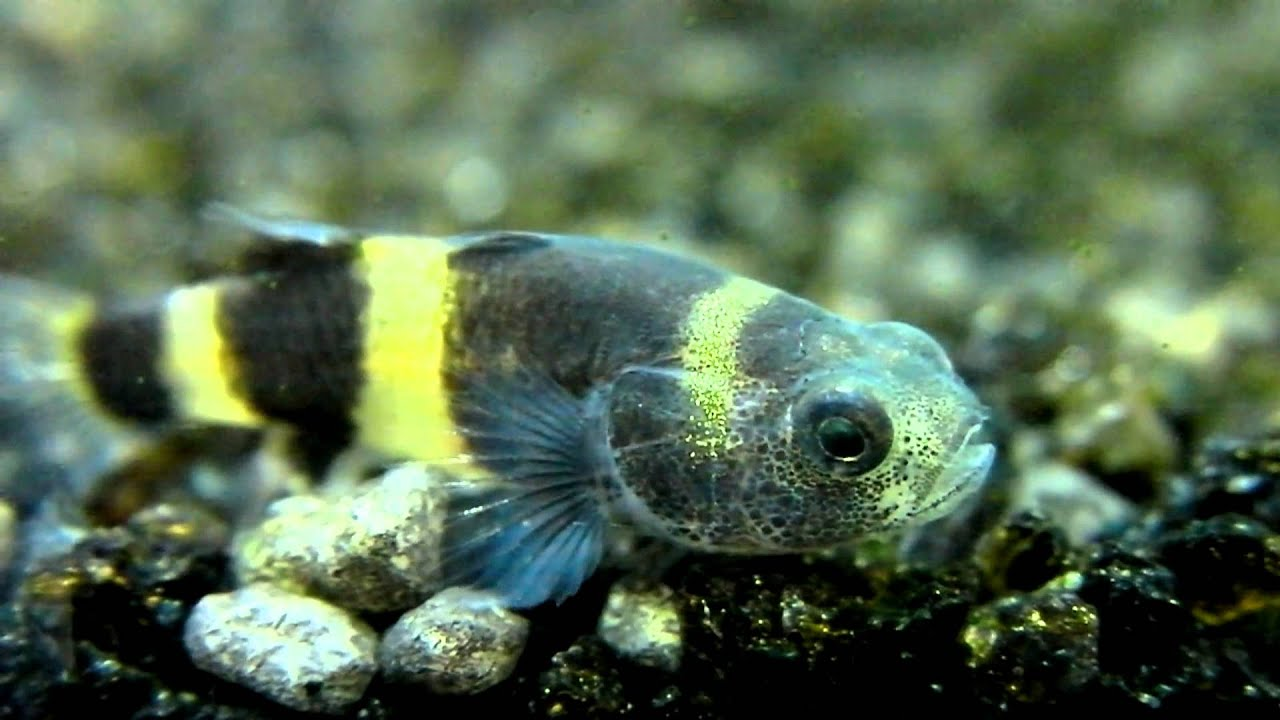 Bumblebee goby youtube for Freshwater goby fish
