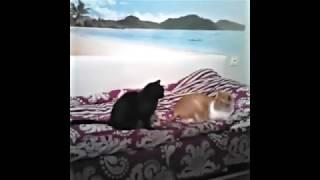 Кошка пристает к коту. Баловство.