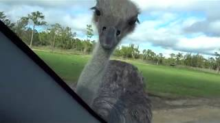 Ostriches eating invisible food off of cars
