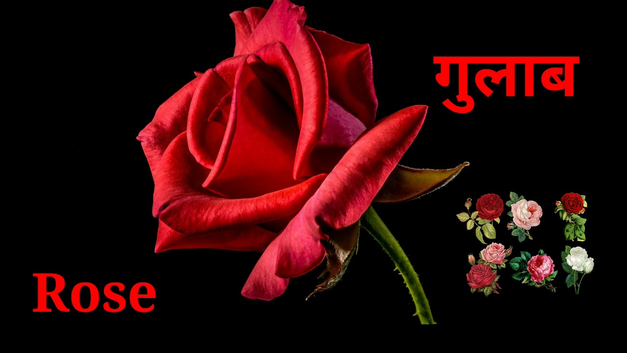 ग ल ब Rose Flowers Information Of Flowers In Marathi Youtube