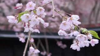 さくら(sakura) Song by 高野健一(takano kenichi) さくらさくら会...