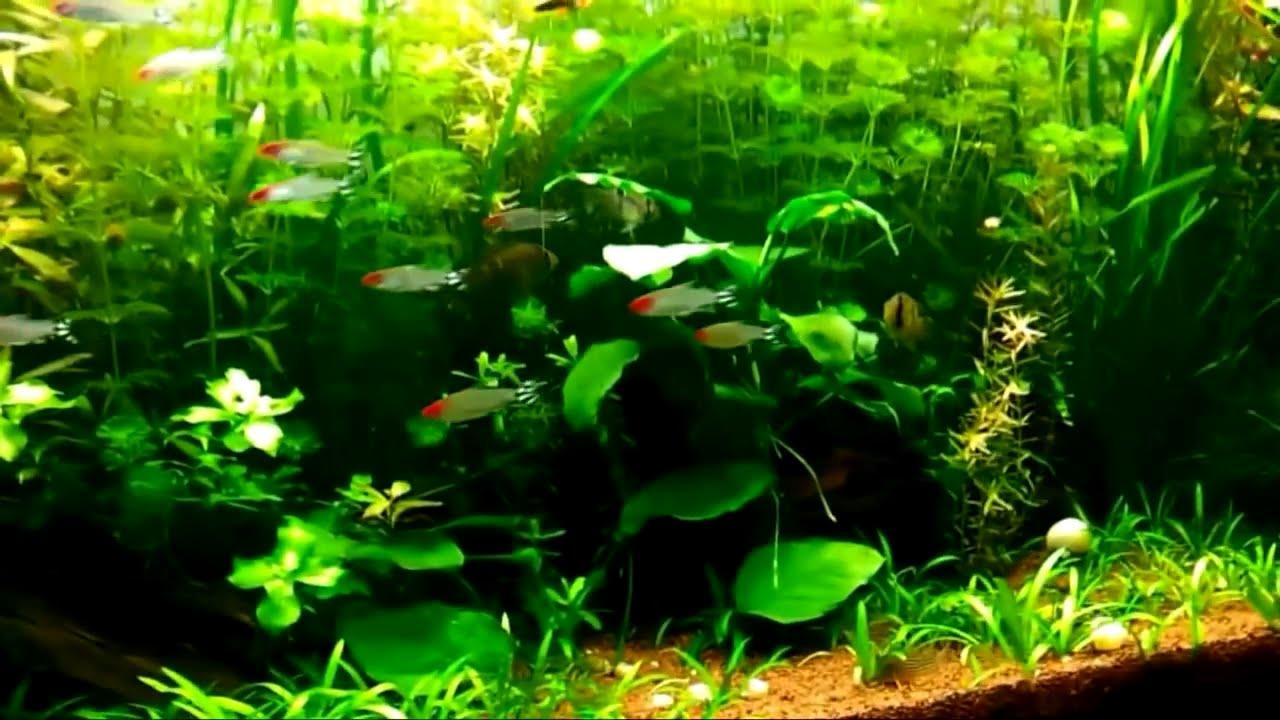 Consejos de acuarios para peces compatibles grava for Peces ornamentales acuarios
