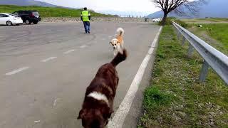 Конфликт пастушьих собак и бродячей стаи вблизи города Мцхета
