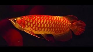 Arowana fish best collections