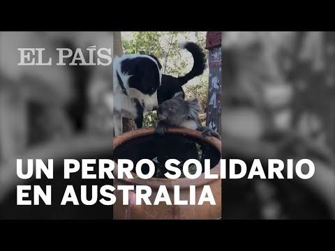 Un PERRO comparte su agua con un KOALA en los INCENDIOS de Australia