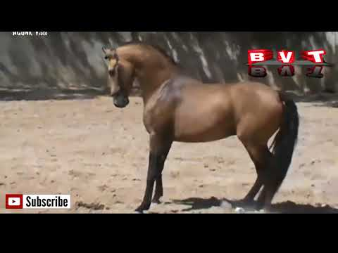 kuda liar versus banteng