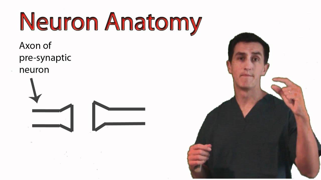 Anatomy Of A Neuron Youtube