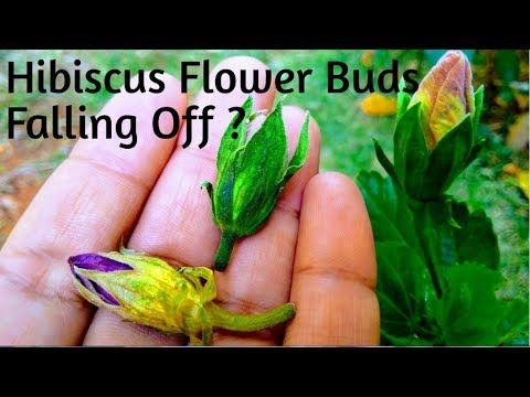 Buds Falling In Hibiscus? How To Cure Bud Falling Before Blooming