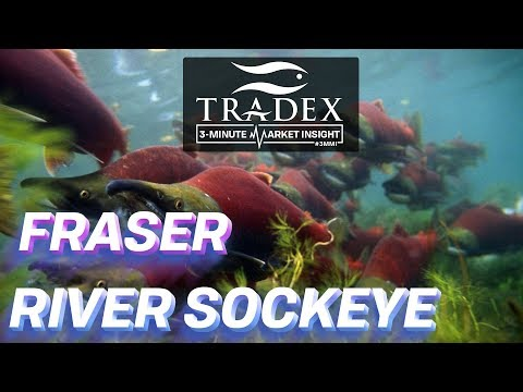 3MMI - Will There Be A Fraser River Sockeye Fishery This Year?