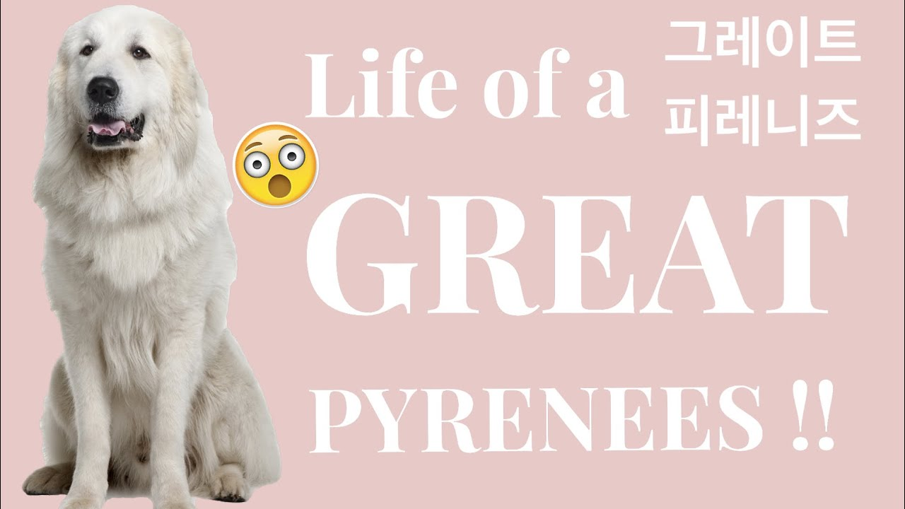 Life of a Great Pyrenees?! / 모찌의 하루 / 그레이트 피레니즈 🐶💕 - YouTube
